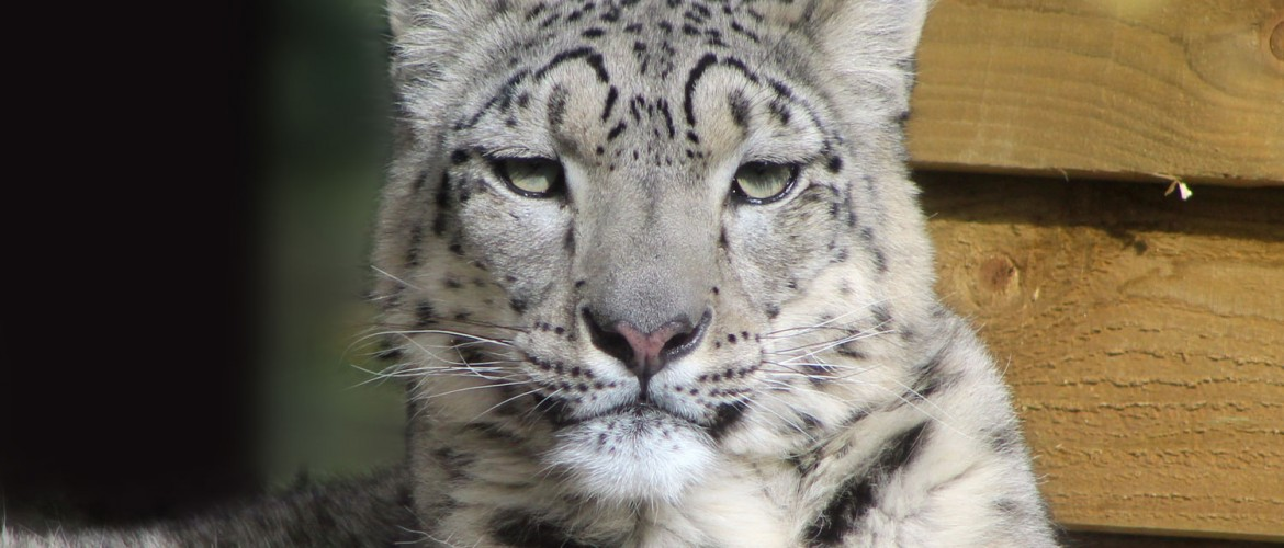 15_09_13_snowleopard_female_animesh_kp_08_close-up_sml